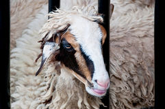 Funny sheep portrait Stock Images