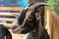 Portrait of a goat close-up in the aviary. Funny sheep. portrait of a goat in the aviary. farm animals and Pets, close-up stock photos