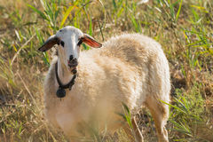 Funny sheep portrait at a meadow. Royalty Free Stock Image