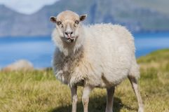 Funny sheep with tongue visible. Funny sheep smiling, exposing tongue, standing on a grassland in Faroe Islands, the sheep kingdom royalty free stock images