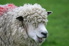 Funny sheep with wool royalty free stock images