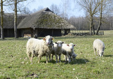 Funny sheeps. Sheeps in nature green meadow Royalty Free Stock Image