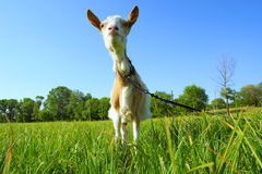 Funny shegoat in sunset Royalty Free Stock Photos