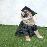 Graduating Puppy Stock Photo