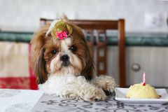 Funny Shih Tzu birthday dog with cake and hat. Home shot stock image