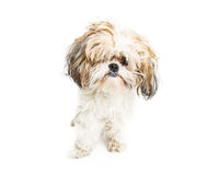 Funny Shih Tzu Dog With Messy Hair. Cute young Shih Tzu crossbreed dog with messy long hair in eyes royalty free stock photo