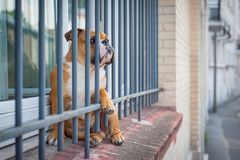 A french bulldog is waiting at the windows behind a grid like a jail. Funny shot of a cute French bulldog like as it were in jail Royalty Free Stock Photography
