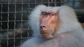Funny shy hamadryas baboon in a zoo cage. stock footage
