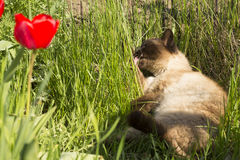 Funny Siamese cat licked Stock Photography