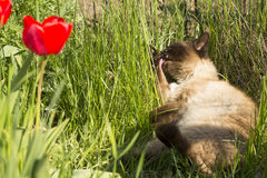 Funny Siamese cat licked Stock Images