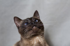 Funny Siamese cat looking up Royalty Free Stock Photos