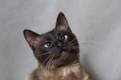 Funny Siamese cat looking up Stock Photo