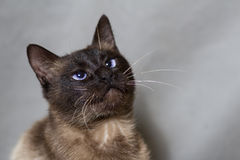 Funny Siamese cat looking up Stock Photography
