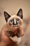 Funny siamese kitten in  arms Royalty Free Stock Images