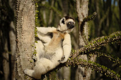 Funny sifaka, Propithecus verreauxi or verreaux's sifaka hanging on a branch. Lemurs like to sun bath in the chilly morning for thermoregulation purposes Stock Photo