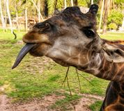 A funny silly looking juvenile giraffe sticking its tongue out on a blurry mottled green foliage background.  royalty free stock photo