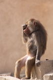 Funny sitting hamadryas baboon Royalty Free Stock Images