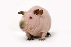 Funny skinny guinea pig Stock Image