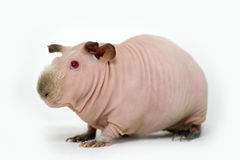 Funny skinny guinea pig Stock Photo