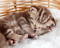 Funny sleeping baby cat pet kitten. Funny sleeping baby cat kitten in wicker basket Stock Photos