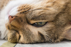 Funny sleeping cat's face closeup photo Royalty Free Stock Images