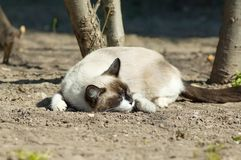 Funny sleeping cat Royalty Free Stock Images