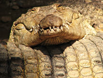 Funny Sleeping Crocodile Royalty Free Stock Photos