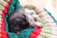 Funny sleeping ferret Stock Images