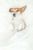Funny sleeping Jack Russell terrier dog Royalty Free Stock Photos