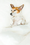 Funny sleeping Jack Russell terrier pup Stock Photo