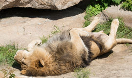 Funny sleeping lion Royalty Free Stock Image