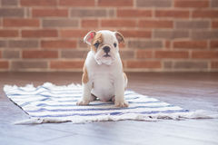 Funny sleeping red white puppy of english bull dog close to brick wall and on the floor looking to camera.Cute doggy with black no. Se colorful body sitting on Royalty Free Stock Photo