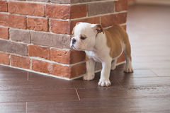 Funny sleeping red white puppy of english bull dog close to brick wall and on the floor looking to camera.Cute doggy with black no Royalty Free Stock Image