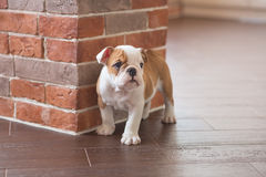 Funny sleeping red white puppy of english bull dog close to brick wall and on the floor looking to camera.Cute doggy with black no Royalty Free Stock Photography