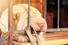Funny sleeping sharpei nose. Cute nap. Sleeping dog stock image