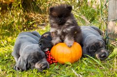 Great Dane dog and Pomeranian Spitz next to pumpkin. Funny sleeping three Great Dane dogs puppies and one Pomeranian Spitz puppy and pumpkin Royalty Free Stock Photos