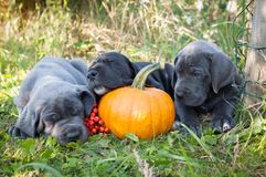 Great Dane dog and pumpkin. Funny sleeping three Great Dane dogs puppies and pumpkin Royalty Free Stock Photo