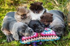 Great Dane dogs and Pomeranian Spitz puppies next to pumpkin. Funny sleeping three Great Dane dogs puppies and three Pomeranian Spitz puppies and pumpkin Stock Image