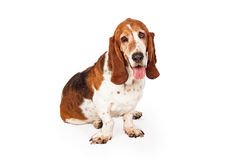 Funny Sleepy Basset Hound Dog Stock Photos