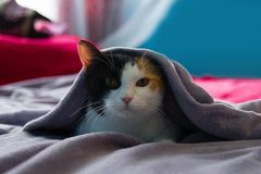 Funny sleepy cat is resting under the purple blanket on a bed. royalty free stock photography
