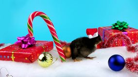 Funny small black rooster in Christmas Decoration, a new year 2017 concept. Isolated on blue screen for keying stock video footage