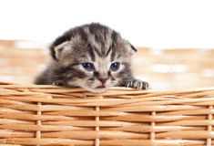 Funny small cat kitten pet in wicker basket Stock Image