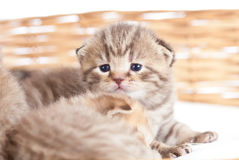 Funny small cat kitten in wicker basket Stock Image