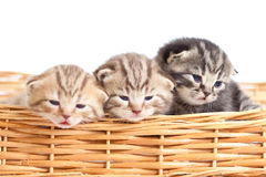 Funny small cats kittens in wicker basket royalty free stock photos