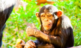 Funny small chimp siting and eating royalty free stock photos