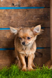 Funny and small dog chihuahua in box  on blue background Royalty Free Stock Photos