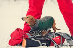 Funny small dog, dressed in a coat, relaxes on a hiker`s backpac. K next to the owner at a camp. Hiking in the winter forest with friends Stock Photos