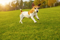 Funny small dog hurtling loped the green grass. Stock Image