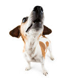 Funny small dog Jack Russell terrier lifted head up Stock Photos