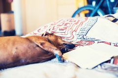 Funny small dog resting comfortably on the couch Royalty Free Stock Image